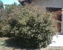 Compro Arbustos