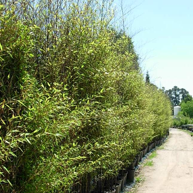 Comprar Bambu negro