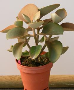 Compro Plantas suculentas