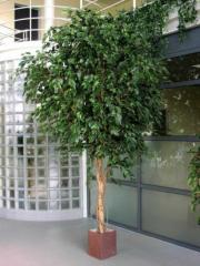 Ficus gigante exótica