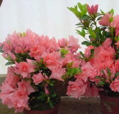 Arbustos ornamentais