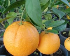 Arvores de fruto