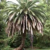 Palmaceas, exóticas