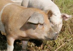 Carne de suino