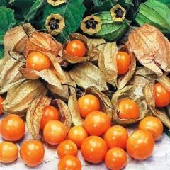Physalis peruviana/ Golden berry