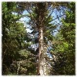 Pinhais e eucaliptais