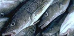 Pescado ultracongelado