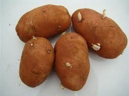 Batata de semente
