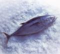 Atum congelado