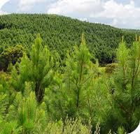 Encomenda Plantacoes florestais