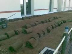 Produção de relva em tapete